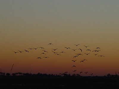 A closer look at the flock of birds decorating the sunset sky.