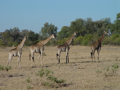 Pretty giraffes all in a row.