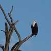 One of two African fish eagles we saw during our sundowner boat ride; coloring is similar to the American bald eagle.