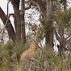 "The giraffe looked at us as though to say, ""Who are these odd looking creatures looking at me?"""