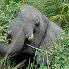 Determining that we were no threat to him, the elephant went about browsing - but kept a wary eye on us anyway.