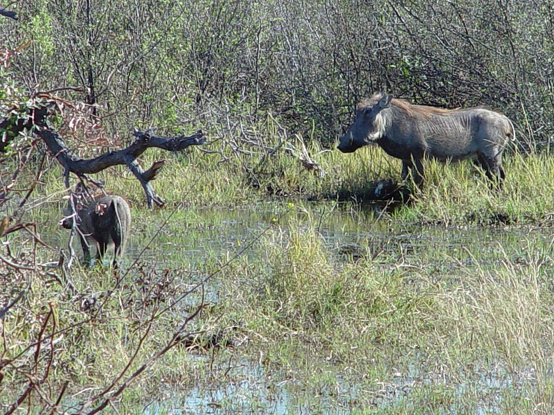 ...a family of warthogs - mom and one of the babies.