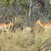 Sneeze-like sounds alerted us to the presence of two male impalas; they were sparring over a harem.
