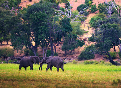 Two large elephants fighting in Chobe National Park, Botswana.