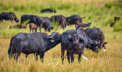 Herd of African cape buffalos grazing in Chobe National Park
