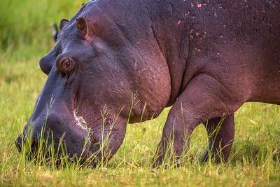 Hippo grazing in Chobe National Park, Botswana