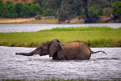 Elephant crossing the Chobe River in Chobe National Park, Botswana