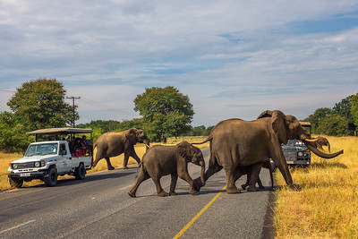 Herd of elephants crossing the street in front of cars in Chobe National Park