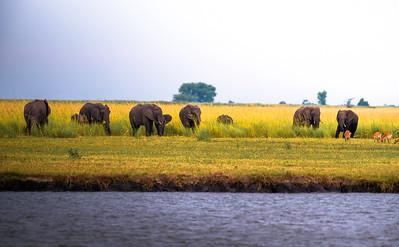 Herd of elephants grazing in Chobe National Park, Botswana
