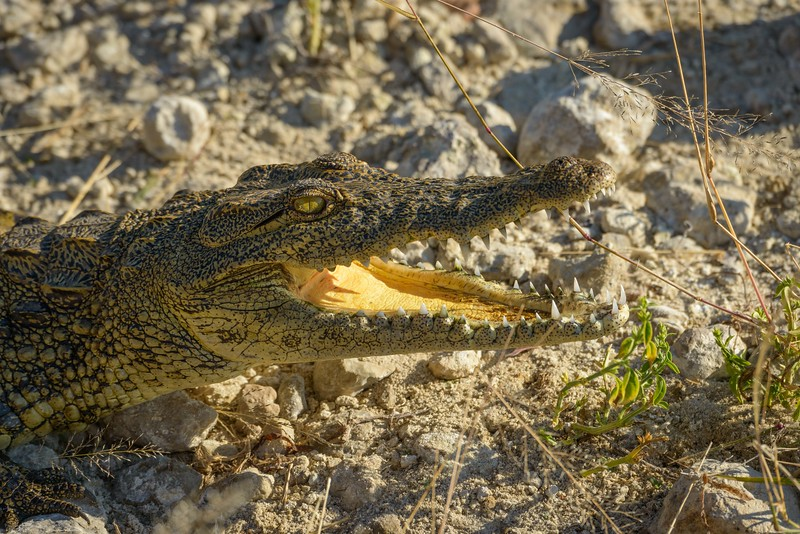 Crocodile With Yellow Mouth