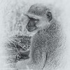Baboon With Fruit