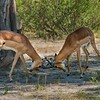 Fighting Impalas