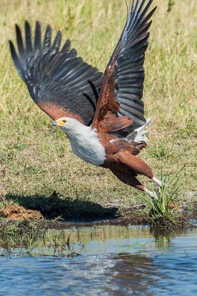Fishing Eagle