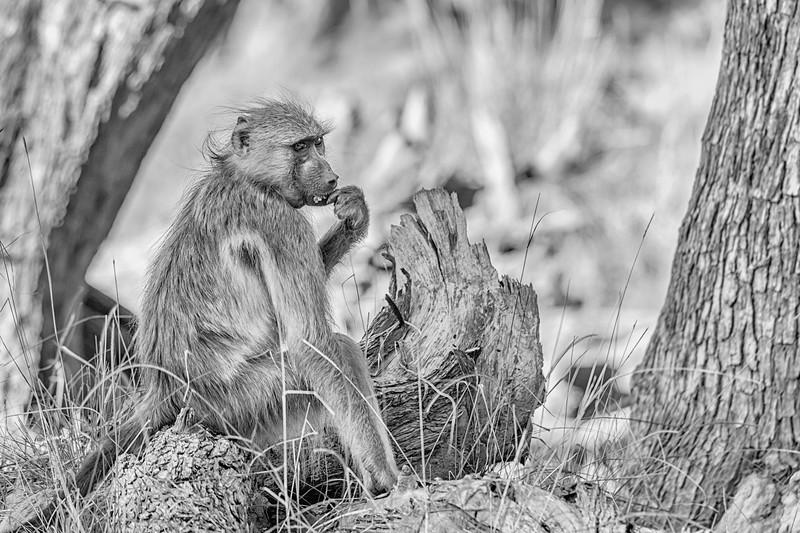 Snacking Baboon