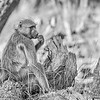 Snacking Baboon