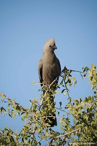 African Go-away-bird
