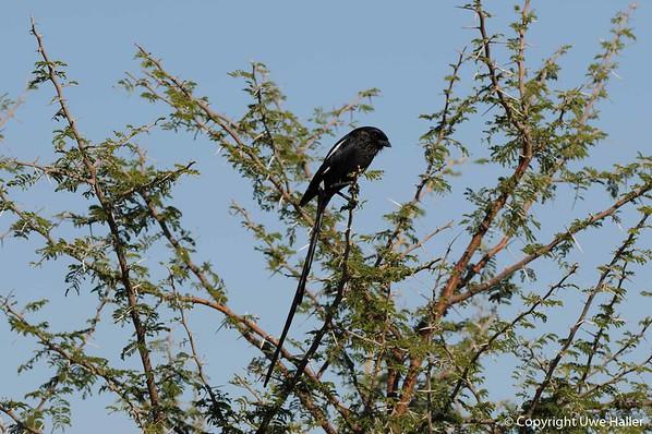 Magpie Shrike (Long tail)