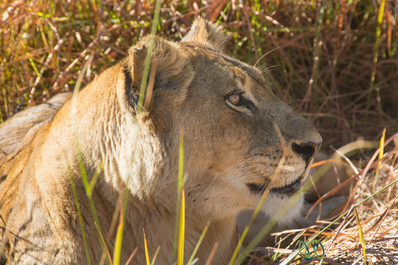 Lionness in the Tall Grass - Moremi Game Reserve, Botswana