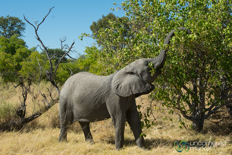 Elephant Eating, Reaching High in Tree - Moremi Game Reserve, Botswana