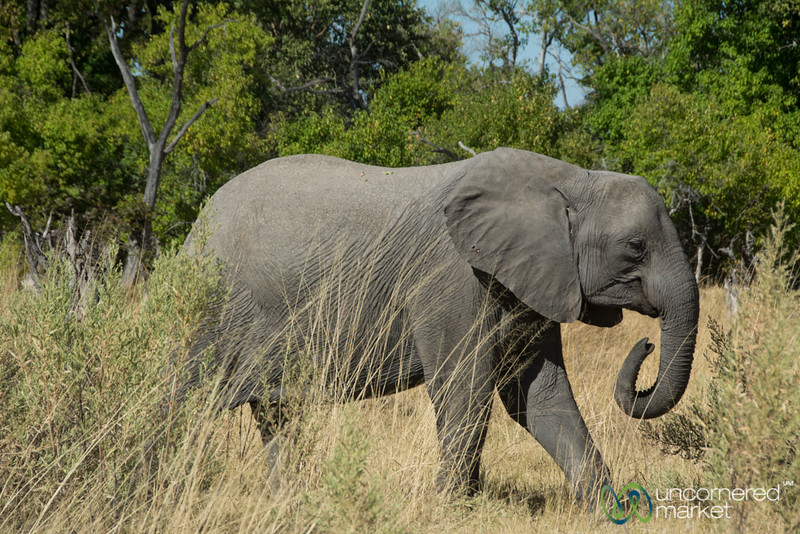 Elephant Without Tusks - Moremi Game Reserve, Botswana