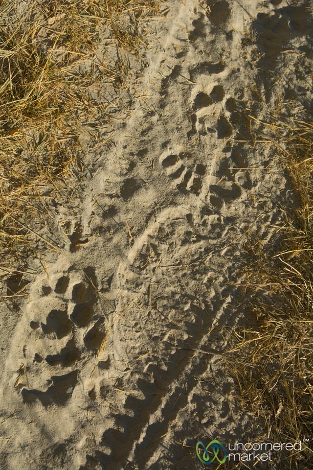 Lion Tracks in the Sand - Camp Xakanaxa, Botswana