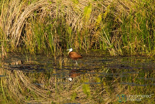 African Jacana - Okavango Delta, Botswana