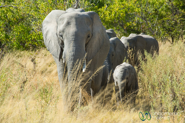 Elephant Family, Marching Towards Us - Moremi Game Reserve, Botswana