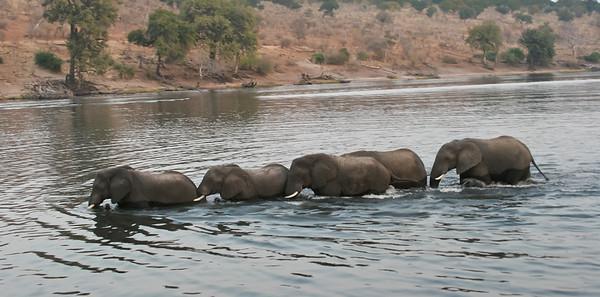 African elephants crossing Chobe River