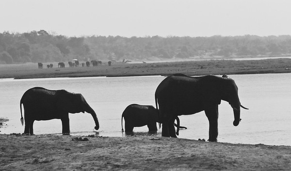 African elephant - B/W photos