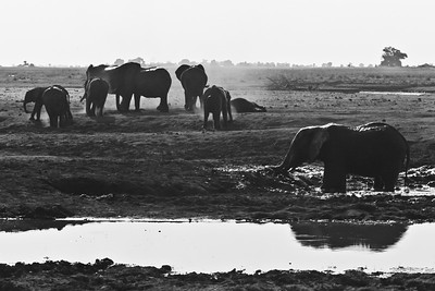 African elephants enjoying the pleasures of a mud bath, followed by a good dust bath