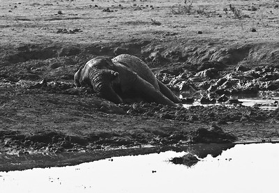 African elephant enjoying the mud hole to himself