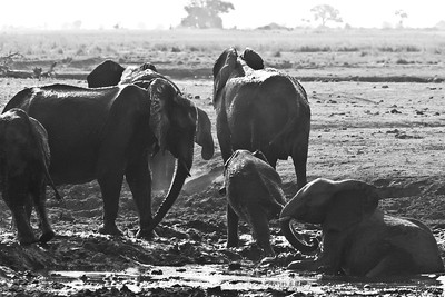 African elephants enjoying the pleasures of a mud bath