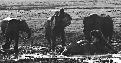 African elephants enjoying the pleasures of a mud bath