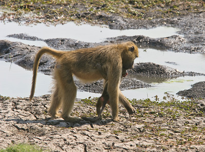 Chacma baboons.  Mother and baby