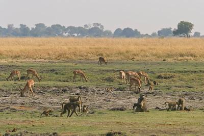 Chacma baboons and impala