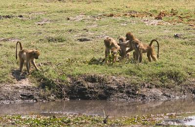 Chacma baboons, juveniles.