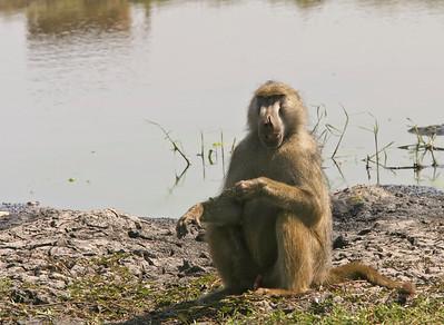 Chacma baboon, male.