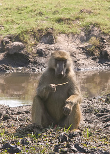 Chacma baboon.  Male eating grass root