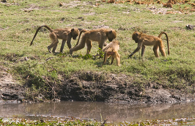 Chacma baboons.  Juveniles searching for something to eat.
