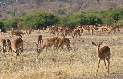 Impala grazing on the Chobe River flood plain