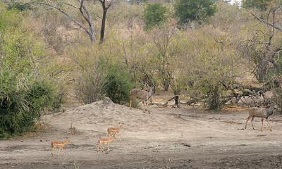 Greater kudu, Chacma baboons, and Impala at a nearly dry waterhole (pan) at dusk