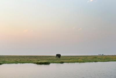 Chobe River, Chobe National Park, Botswana.  Lone bull African elephant.