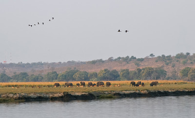 Chobe River, Chobe National Park, Botswana.  Elephants and impala herd on part of the Chobe River flood plain