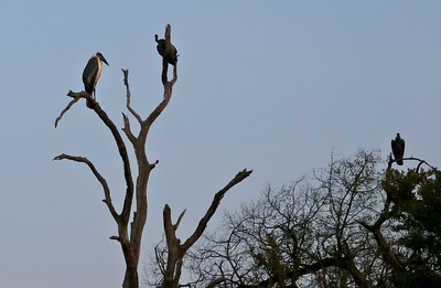 African White-backed Vulture and Marabou Stork