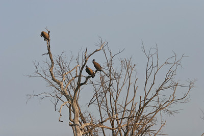 African white-backed vultures