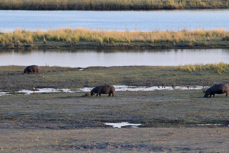 Grazing hippos by Chobe river
