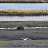 Grazing hippos by Chobe river