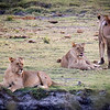Lion cubs looking for a reason to play