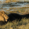 Lion with a buffalo prey