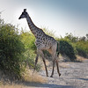 Giraffe crossing the road.